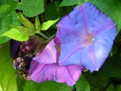 Morning Glory 19 October 2009