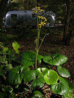 Farfugium japonicum 'Gigantea' 15 November 2009