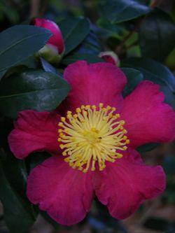 Camellia sasanqua 'Yuletide' 15 November 2009
