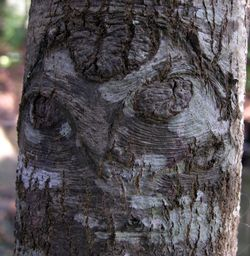 The Face in the Oak 22 November 2009