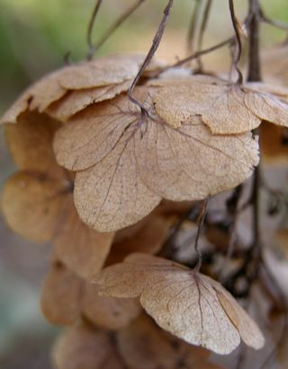 Oakleaf hydrangea after several months of winter 25 January 2010