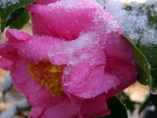 A Camellia flower in the snow 13 February 2010