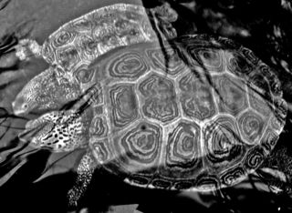 Turtles in grayscale 27 February 2010