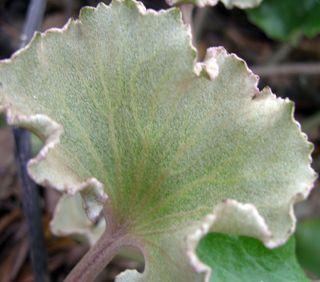 Farfugium japonicum 'cristata' 18 March 2010