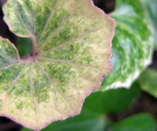 Farfugium japonicum 'Kaimon Dake' 18 March 2010