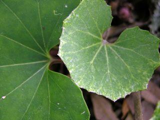 Farfugium japonicum 'Kaimon Dake' I 18 March 2010