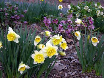 Mom's Daffodils II 20 March 2010