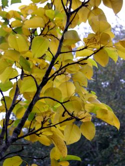 Asian Pear 22 November 2009