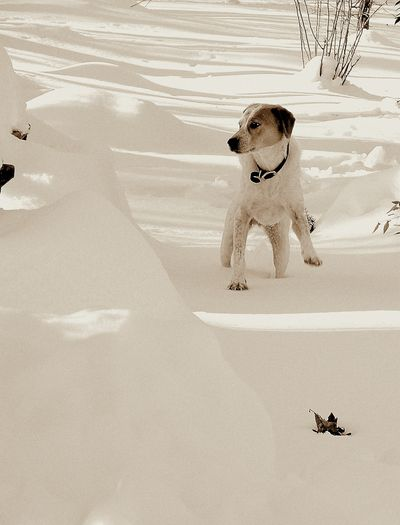 Stanley in the Snow on Christmas Eve III 2009