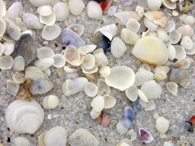 Shells on Santa Rosa Island 21 February 2010