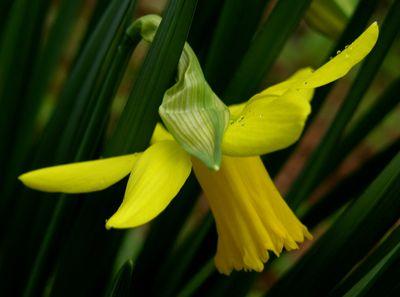 First Daffodil 24 February 2010