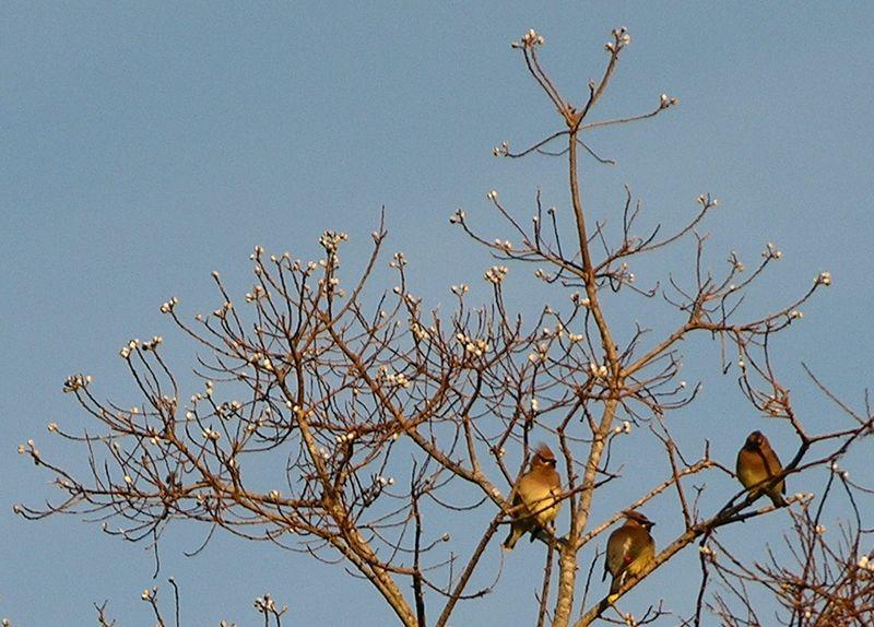 Cedar Waxwings 27 February 2010