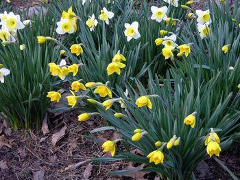Mom's Daffodils I 20 March 2010