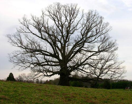 Earlysville White Oak 25 March 2010