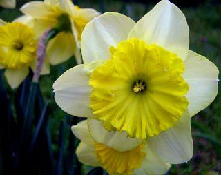 Daffodil VII 26 March 2010