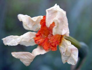 Daffodil fading 27 March 2010
