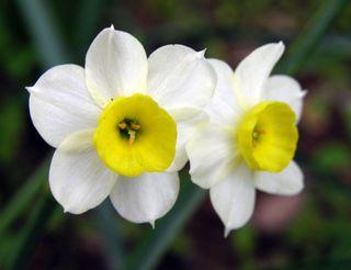 Daffodil I 26 March 2010