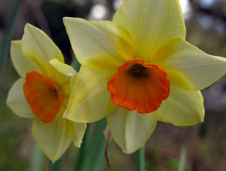 Daffodil IV 26 March 2010