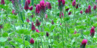 Crimson clover 15 April 2010
