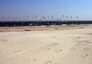 Sullivan's Island Sandbar Birds 23 April 2010