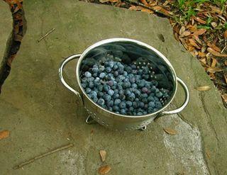 Blueberry Harvest 30 June 2010