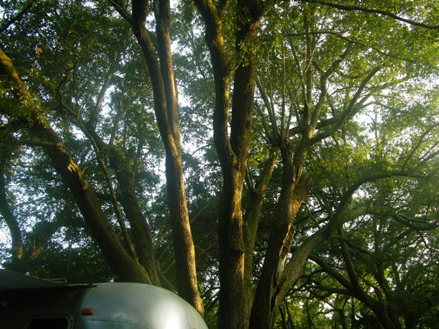 Live Oaks over the Airstream 5 August 2010