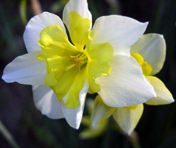Division 11 Split Corona Daffodil 5 April 2010