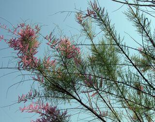 Beautiful Mystery Tree 23 April 2010
