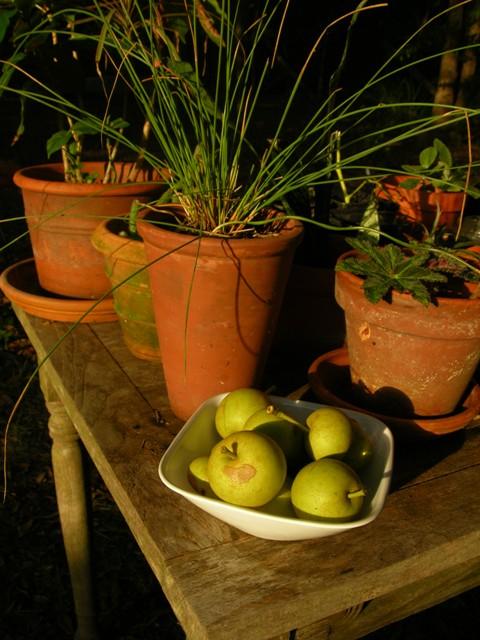 Asian Pear Harvest 23 June 2010