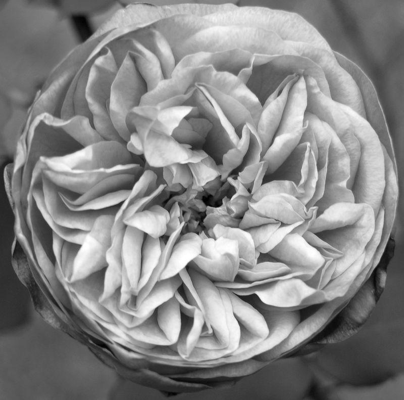 Rose in grayscale 13 November 2010