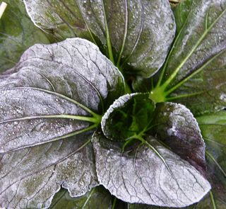 First Frost on the Bok Choy 28 November 2010