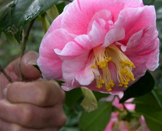 Skip holding a camellia for me to photograph 2 January 2011