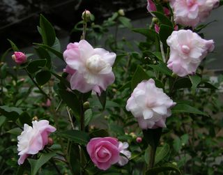 Camellia hybrid I 'Sweet Jane'  2 January 2010