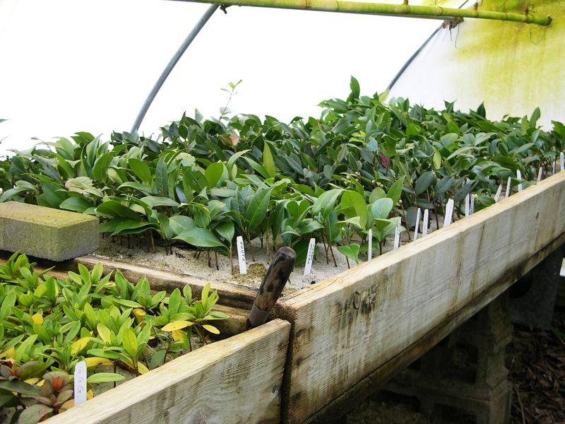 Camellia cuttings 2 January 2011