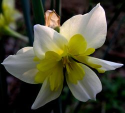 Narcissi split cup Division 11 15 March 2011