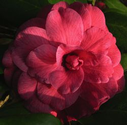 Camellia japonica 'Mathotiana' 15 March 2011