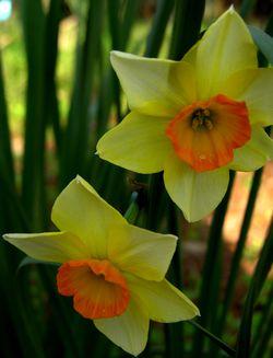 Daffodil 15 March 2011