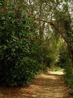 Skip's camellia path V 5 March 2011