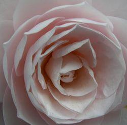 Camellia japonica 'Cheryl Lynn' 5 March 2011