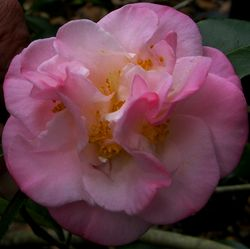 Camellia japonica 'Mary Wheeler' 5 March 2011