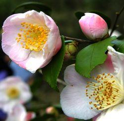 Camellia 'Cinnamon Sensation' I 26 February 2011