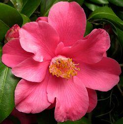 Camellia japonica II 26 February 2011