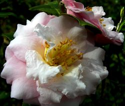 Camellia japonica IV 26 February 2011