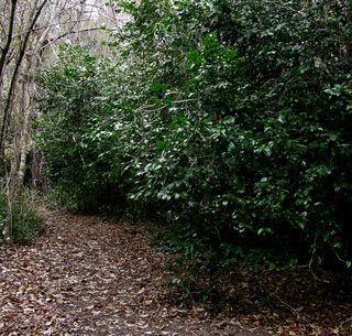 Camellia path 2 January 2011