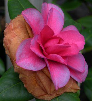 Camellia japonica 'Mathotiana' 2 January 2011
