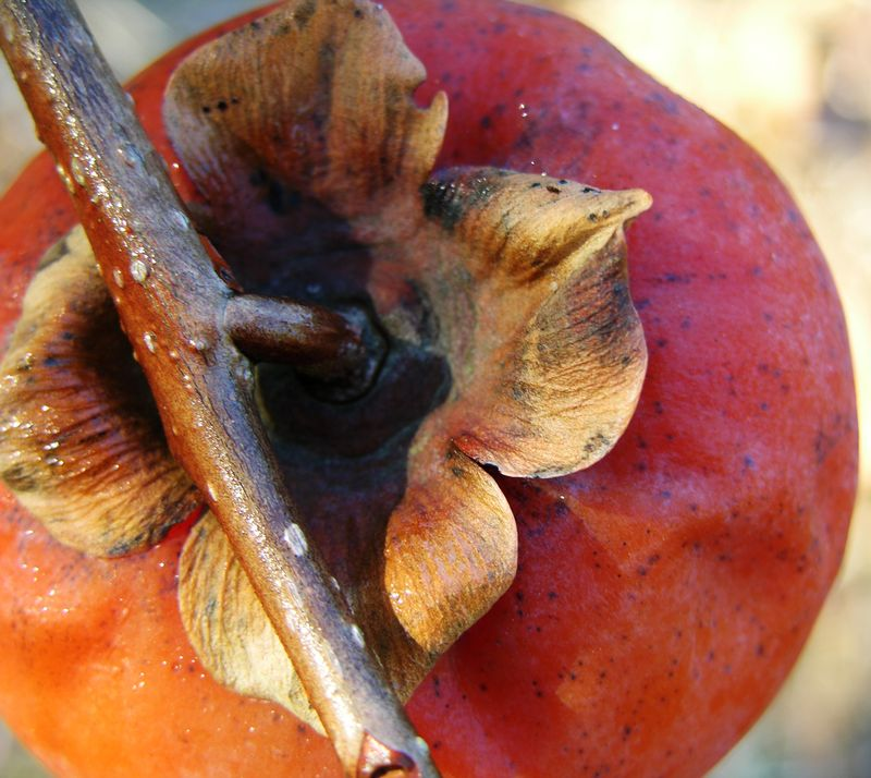 Frozen persimmon 15 January 2011