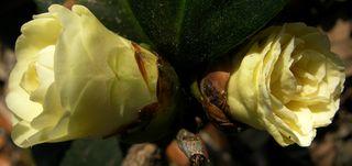 Camellia japonica 'Lemon Glow' 15 March 2011