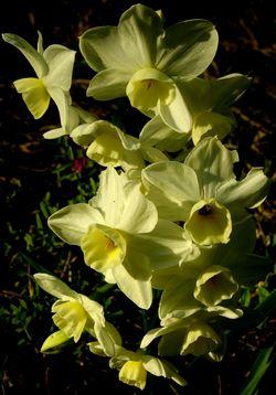 Narcissi Divsion 8 Tazettas 15 March 2011
