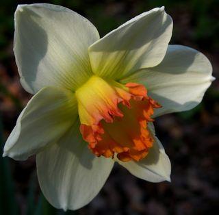 Daffodil 18 March 2011