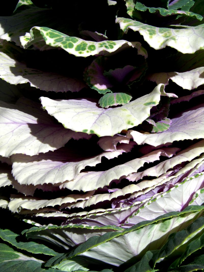 Ornamental Cabbage 14 March 2011